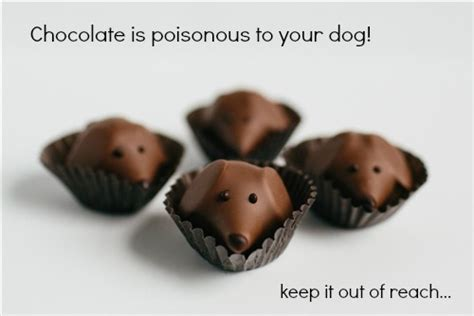 chocolate toxicity in dogs chocolate poisoning in dogs