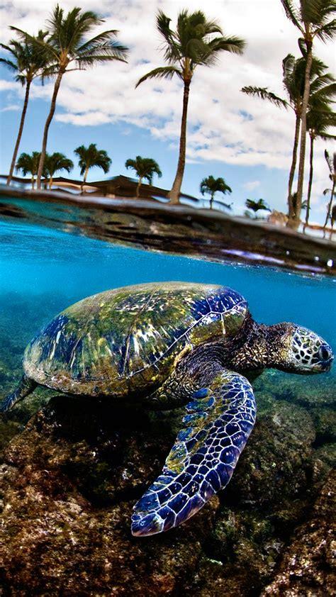 sea turtle hd wallpaper   mobile phone