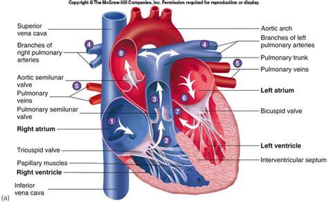human valves diagram cardiovascular parts