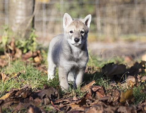 wolfdog puppies saarloos wolfdog puppies fci avls burton upon trent staffordshire pets4homes