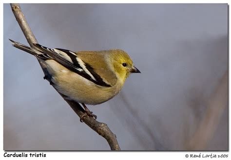 treknature american goldfinch winter plumage photo
