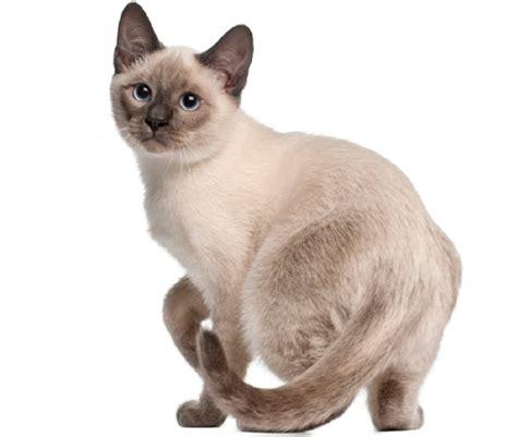 The Tonkinese Cat   Cat Breeds Encyclopedia