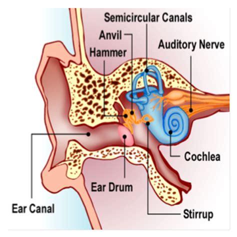 labeled ear diagram smart exchange usa ear labeled