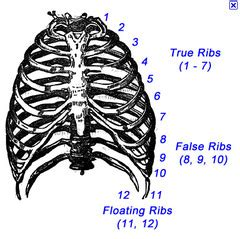 how many ribs does a anatomy quiz 2 flashcards quizlet
