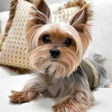 yorkie color variations yorkie really yorkies beautiful and so
