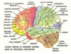 diagram of the human brain bulletin boards pinterest