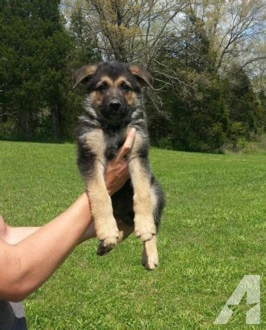8 week german shepherd puppy akc german shepherd puppies 8 weeks for sale in bonne terre missouri