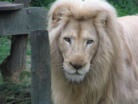 imagenes de leones albinos image gallery leon blanco sin manchas