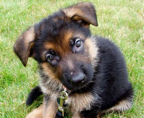 German Finder Find German Shepherd Puppies Dogs Our Friends Photo