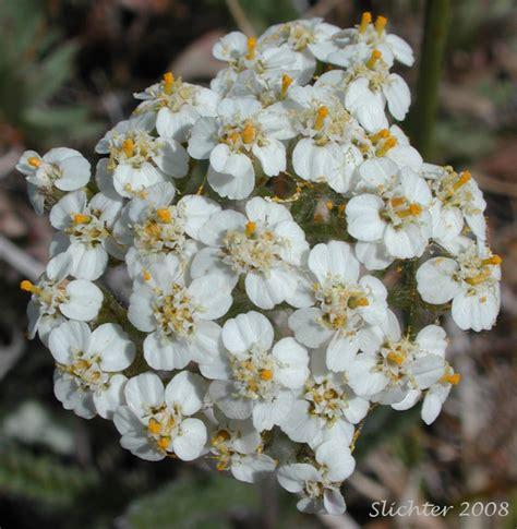 yarrow milfoil achillea millefolium 100 yarrow common yarrow milfoil achillea millefolium