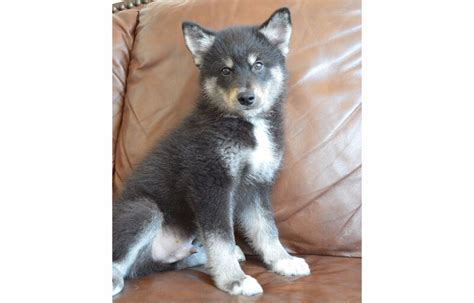 rare pomsky puppies fall sale dogs puppies  rehoming calgary kijiji