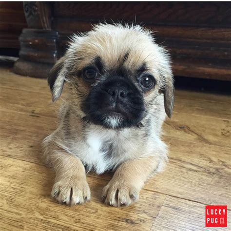 pug mix puppies pug zu hybrid breed information pictures pug cross