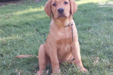 lab puppies for sale in oklahoma labrador retriever puppies for sale tulsa ok