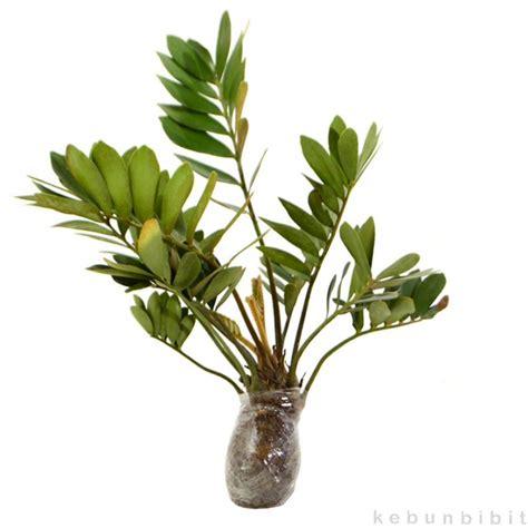 jual tanaman hias daun zamia kebunbibit tokopedia
