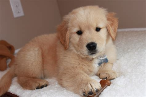golden retriever puppies 1 week golden retriever 8 weeks about animals