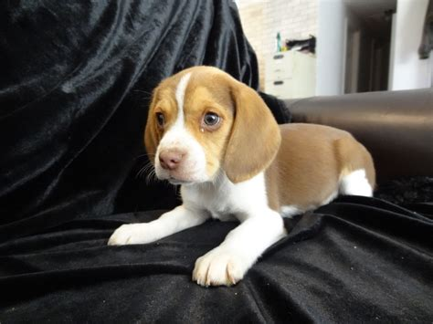 beagle puppies for sale in oregon miniature beagle puppies dogs pictures breeds puppies