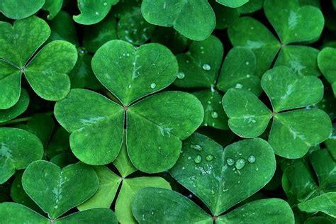 shamrock green shamrock green photograph by strand
