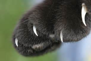 comprendre les griffures du chat conseil griffure des chats