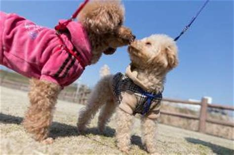 lifespan of miniature poodle poodle expectancy leading causes of