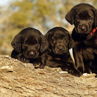 black labrador retriever puppies wallpaper for desktop and