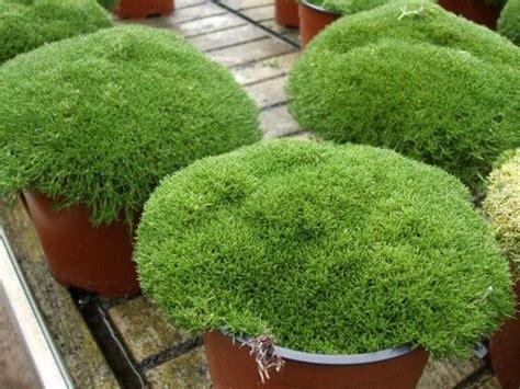 piante tappezzanti perenni fiorite le 25 migliori idee su giardino di piante grasse su