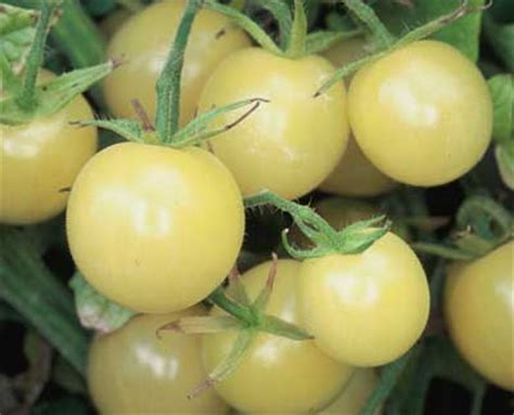 1 Pack Benih Bibit Tomat Cherry Golden Sweet Known You Seed white cherry tomato seeds the chefs garden epicurean