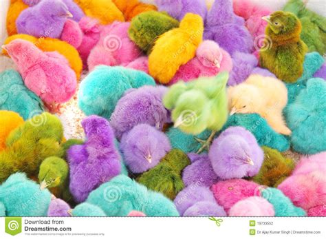 tiny color beautiful small colored chickens stock photography image