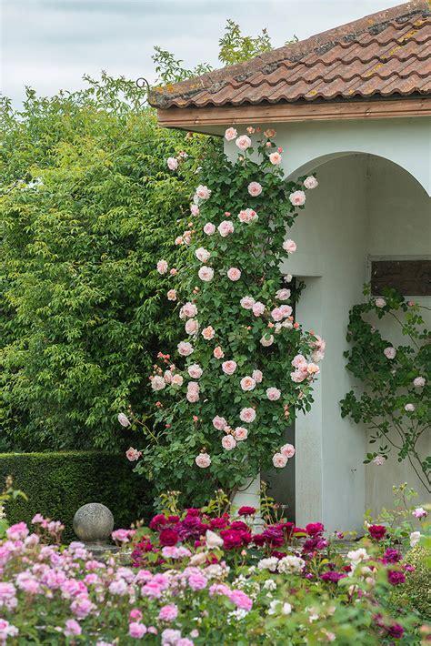 tending   climbing roses making  lovely
