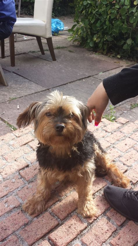 picture of one year old yorkie with puppy cut 5 year old yorkie ivybridge devon pets4homes