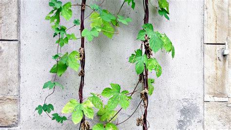 Plante Grimpante Qui Pousse Vite 7 plantes grimpantes qui poussent vite pour les impatients