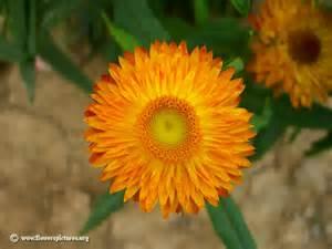 strawflower picture 1