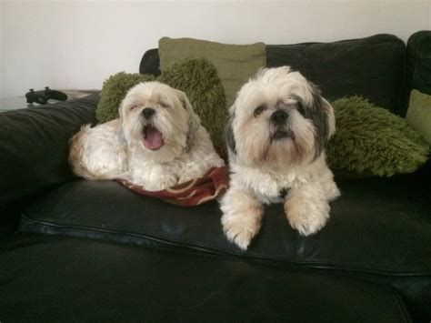 difference between shih tzu and lhasa apso pin lhasa apso e shih tzu mini de tima linhagem ra 167 a pura 011 on