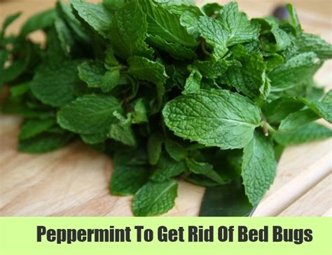 Peppermint Bed Bugs 5 bed bugs home remedies treatments cure