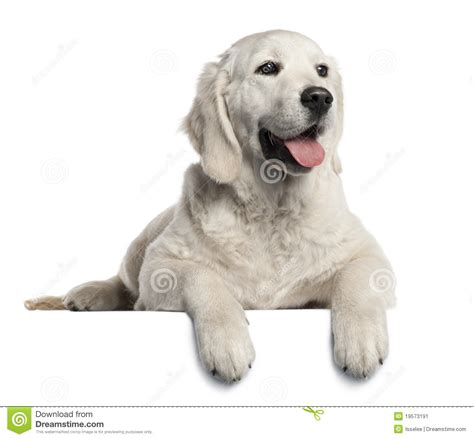 golden retriever at 5 months golden retriever puppy 5 months stock image image 19573191