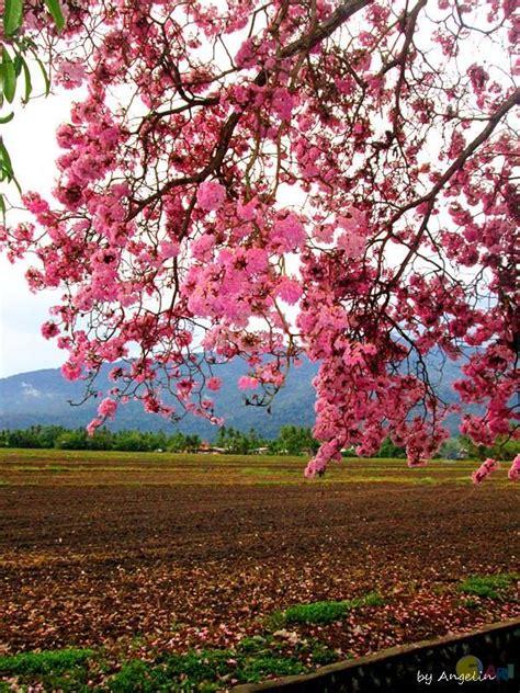 Benih Bunga Tulip Di Malaysia kedah dilanda musim bunga semasa cari infonet