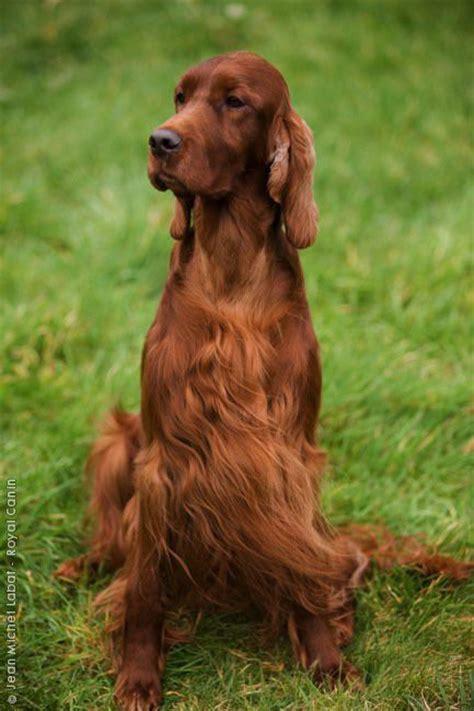 setter dog family 140 best irish setters images on pinterest doggies