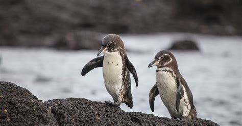 6 Amazing Animals From The Galapagos Islands by Galapagos Penguin Endangered Species Animals Wiki