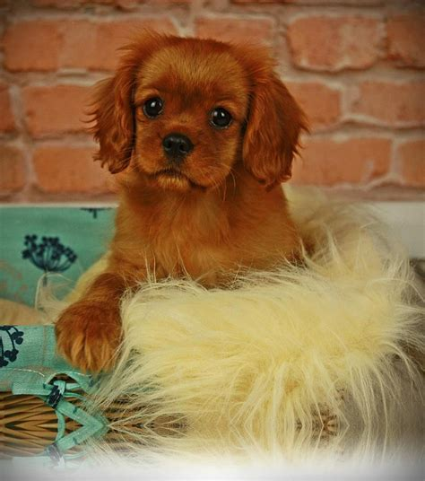 cavalier king charles spaniel puppies for sale near me cavalier king charles spaniel puppies for sale doncaster south pets4homes