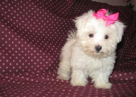 tiny dogs for sale small dogs for sale photograph and healthy maltese puppies