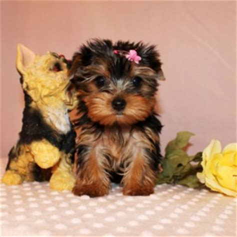 looking for a teacup yorkie and looking teacup yorkie puppies ready now for a new home to go now