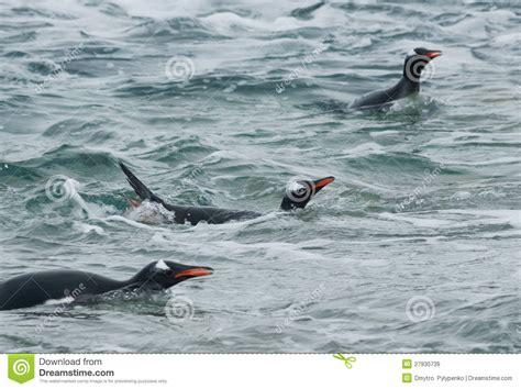 Gentoo Penguin Swimming In The Ocean. Royalty Free Stock ...