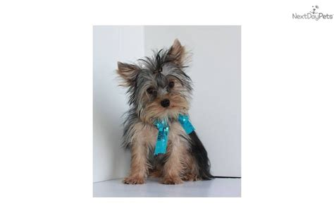 free yorkie puppies near me terrier yorkie puppy for sale near springfield missouri 85eba222 d0e1