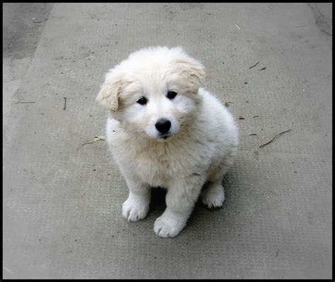 kuvasz puppy discover and save creative ideas