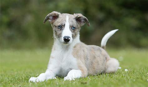 lurcher puppies lurcher breed information