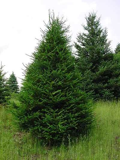 ge norway spruce 6 ft conifer list dammanns