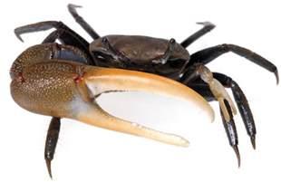tybee island marine center fiddler crab