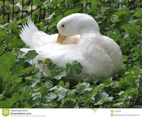 clean white duck feathers stock photo image 27109260