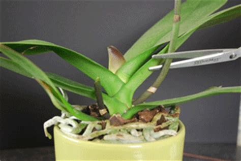 a guide to pruning phalaenopsis orchids
