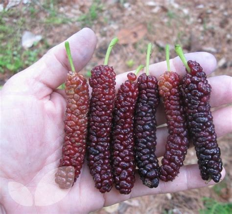 when do mulberry trees fruit mulberry morus nigra fruit black mulberry trees