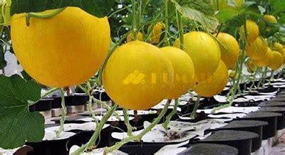 Tray Semai Cabe Rawit galery humaira farm humaira farm